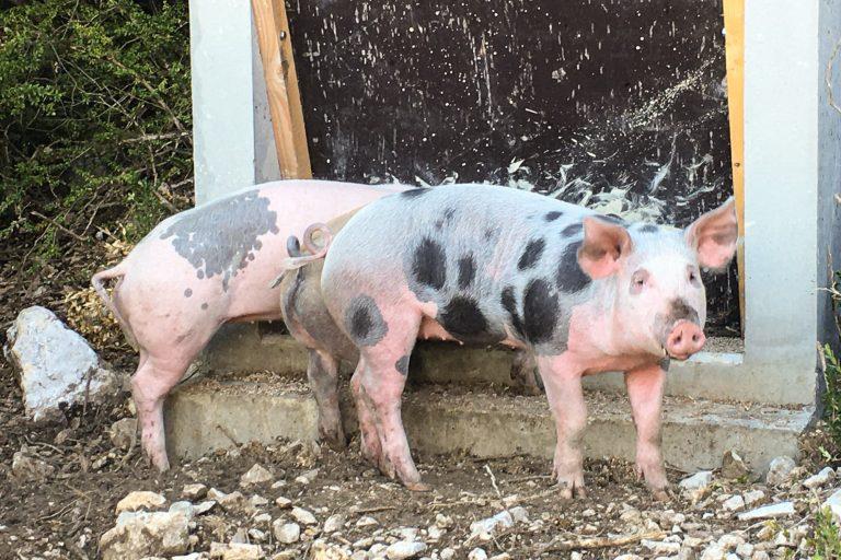 porcs-1